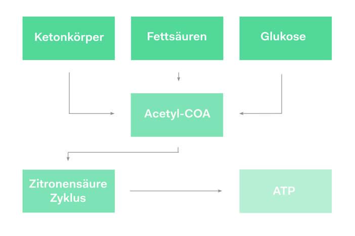 Stoffwechselvorgänge Energiegewinnung ketogen