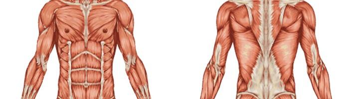 upfit-faszienrolle-muskeln-anatomie